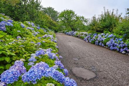 あじさいの見頃が続く岩本山公園