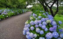 咲き誇るあじさいと園路の風景