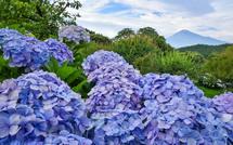 咲き誇るあじさい越しに見る綺麗な富士山