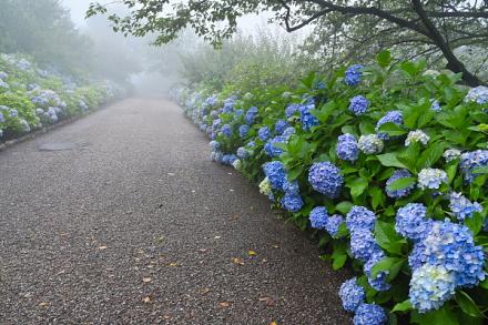 見頃を過ぎてきた岩本山公園のあじさい