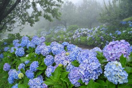 霧に包まれた園内とあじさいの風景