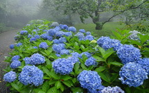 霧と青色あじさいの風景