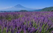 河口湖のラベンダーと富士山の風景