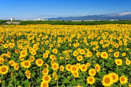 黄色の絨毯のように咲き誇るひまわり