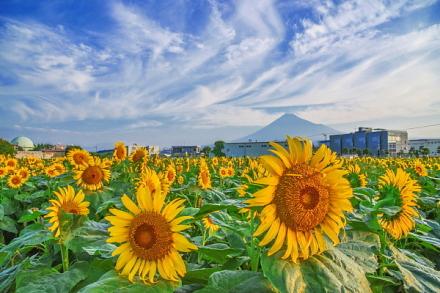 富士山と上空の薄雲とのコラボ