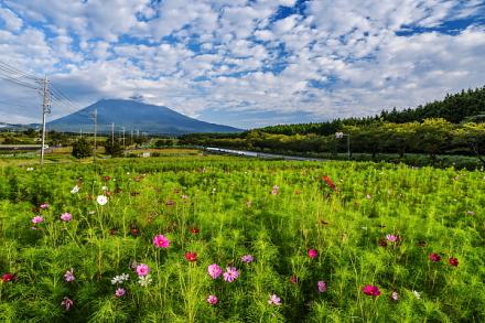 咲き始めたコスモスと上空の鱗雲