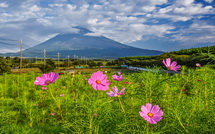 咲き始めたコスモス越しに見る富士山