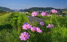 所々で咲き始めた雁堤のコスモス