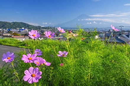 咲き始めたコスモスと富士山の風景