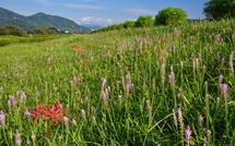 土手斜面に群生するツルボと所々に咲く彼岸花