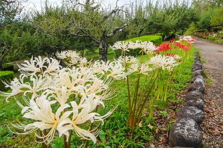 見頃を迎えてきた岩本山公園の彼岸花