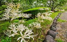 園路沿いに咲く広い彼岸花