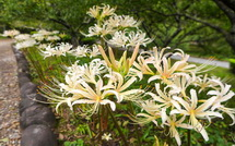咲き誇る白い彼岸花