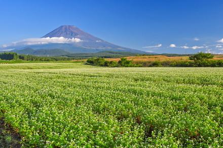富士山を望む高原に広がるそば畑