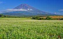 雄大な富士山とそばの花を楽しめる