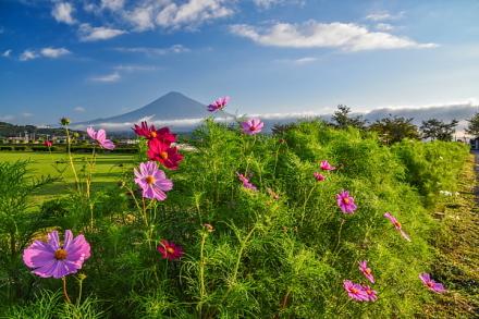 徐々に花開く雁堤のコスモスと富士山の風景