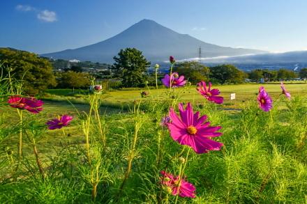 花咲くコスモス越しに見る富士山