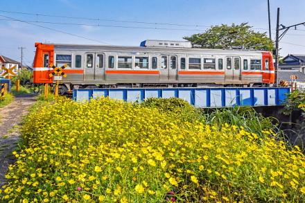 須津川鉄橋付近のキバナコスモスと岳南電車