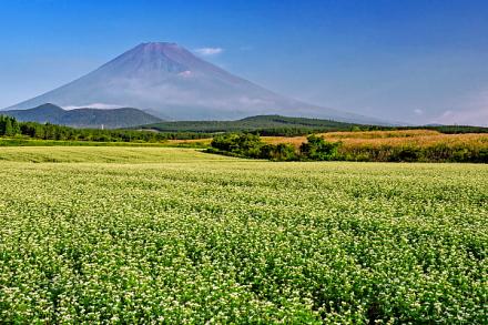 そば畑と富士山の風景