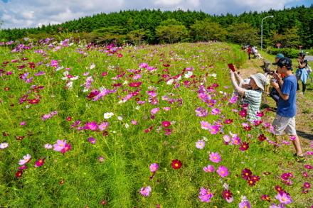 コスモスの花を楽しむ人々