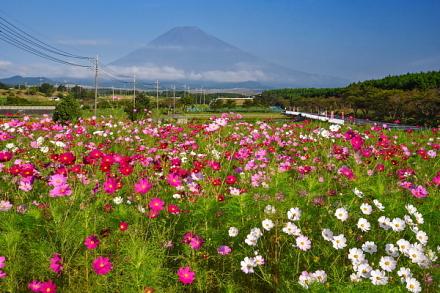 富士山とコスモスの風景