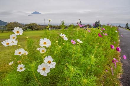 徐々に開花が進むコスモスとチラッと見えた富士山