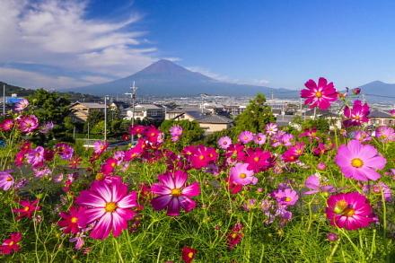 見頃を迎えたコスモスと富士山の風景