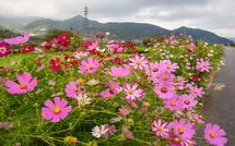 一部でかなり咲いている個所もあり