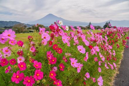 咲き誇る雁堤のコスモスと富士山の風景