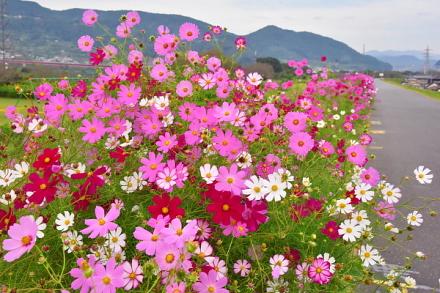 色とりどりのコスモスが咲き誇る