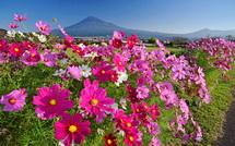 雁堤のコスモスと富士山の風景
