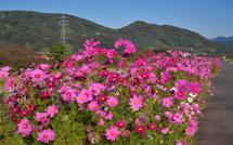コスモスの花はまだ十分に楽しめる