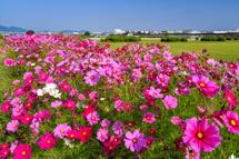 富士川緑地公園に咲き誇るコスモス