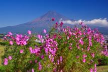 コスモスと富士山の風景