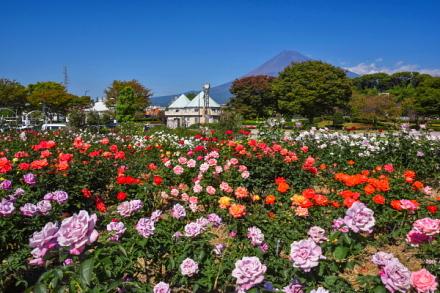見頃を迎えた富士市中央公園の秋バラ