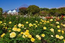 秋バラと富士山の風景