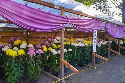 菊花展開催の三日市浅間神社