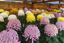 丹精込めて育てられた菊花が並ぶ