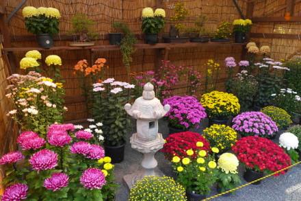 さまざまな菊花が彩る