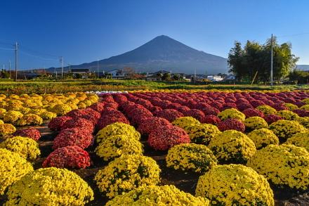 ぼさ菊と富士山の風景を楽しめる「南条の里」