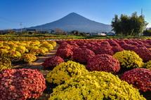 ぼさ菊と富士山の風景