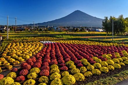 ぼさ菊で赤富士を表現