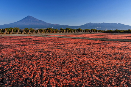 蒲原富士川河川敷での桜えび天日干し風景