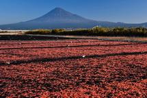 桜色の絨毯と富士山の風景