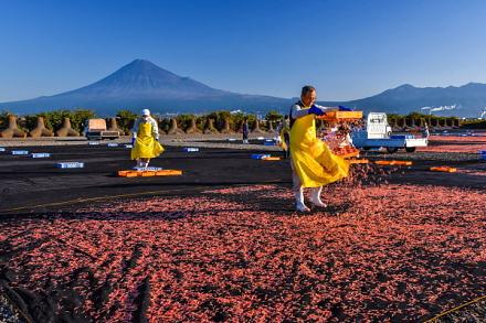 富士山をバックに桜えび天日干し作業
