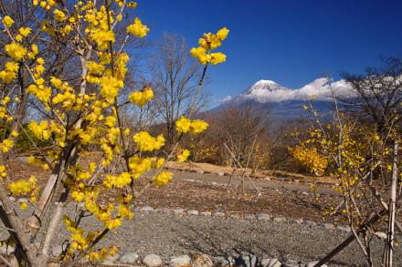 蝋梅の花と富士山の風景