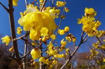 蝋梅の花をズームアップ