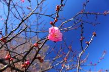 ちらほら咲き出した早咲き紅梅