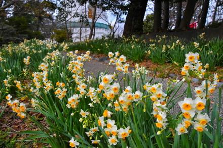 水仙が早くも見頃の富士と港の見える公園