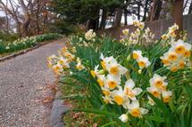遊歩道の両脇に咲く水仙